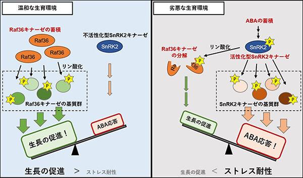 図1 :SnRK2キナーゼとRaf36キナーゼによる生長とストレス応答の制御モデル